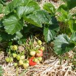 Erdbeeren5